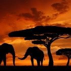 Silhouette elephants in the sunset